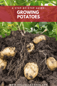 potatoes in the garden pulled out with roots showing growing guide pinterest image