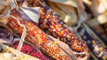 Closeup of Indian colorful corn