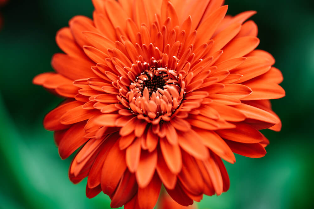 Single large, orange Gerbera flower.