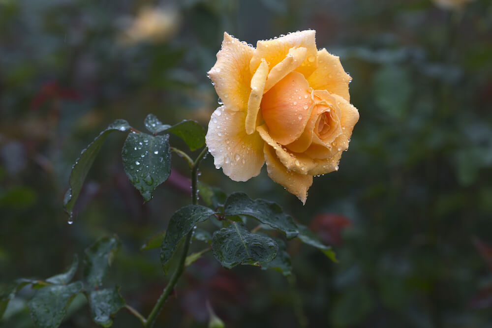 Single orange rose covered in water droplets