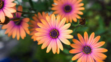 Orange and purple daisy flowers.