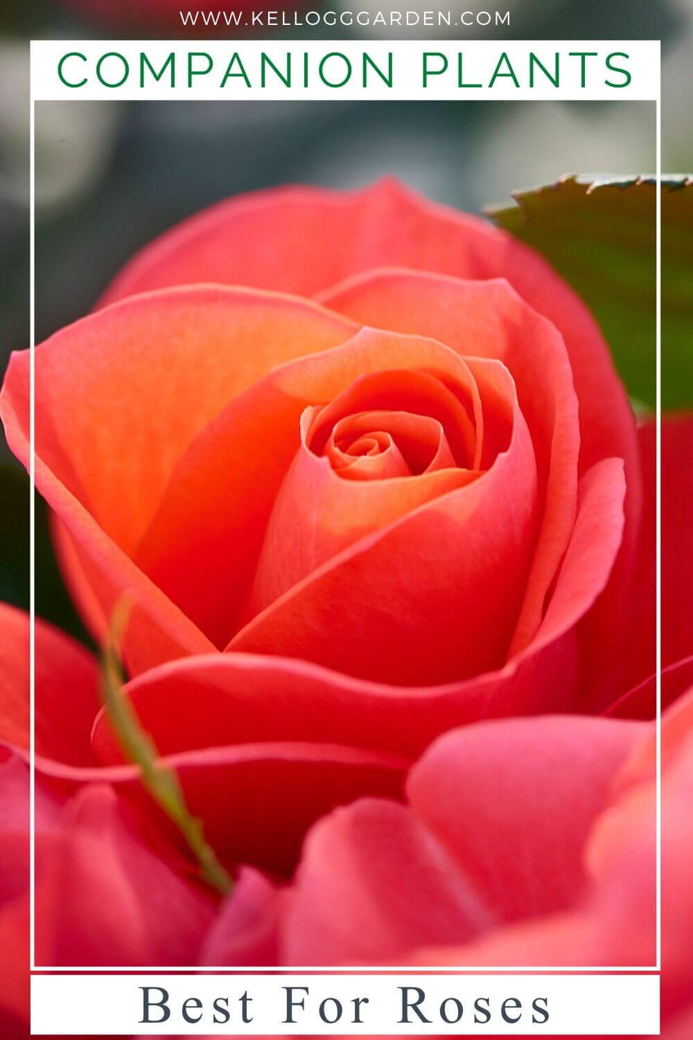 """Image of pink rose with text """"Companion Plants, best for roses"""""""
