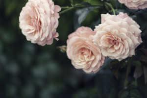 Pink roses in full bloom.