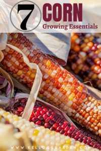 Growing corn guide pinterest image