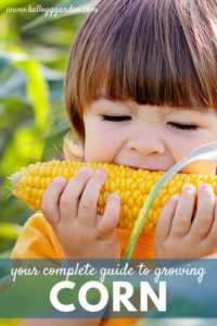 Growing corn guide pinterest image