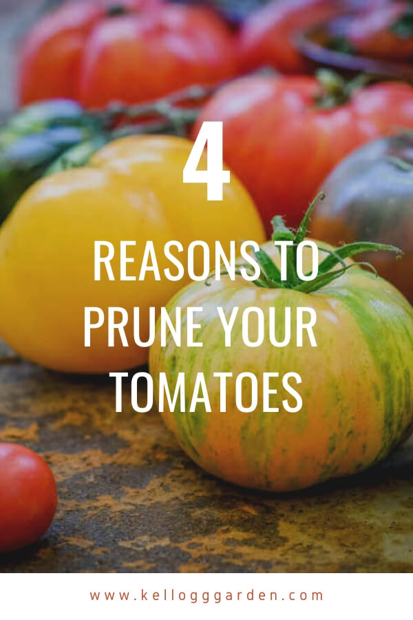 """Close up of heirloom tomatoes with text, """"4 Reasons to prune your tomatoes"""""""