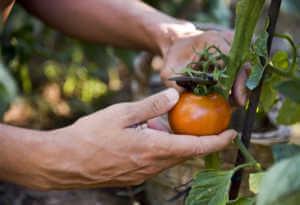 Man pruning an orange tomato