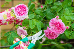 Gardener with pink flowery gloves and green sheers pruning a rose bush with pink roses.