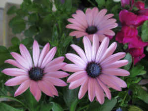 Three light purple Daisys surrounded by a rose bush