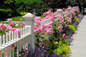 White picket fence surrounded by roses and companion plants