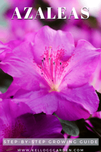 Close up of purple azaleas pinterest image