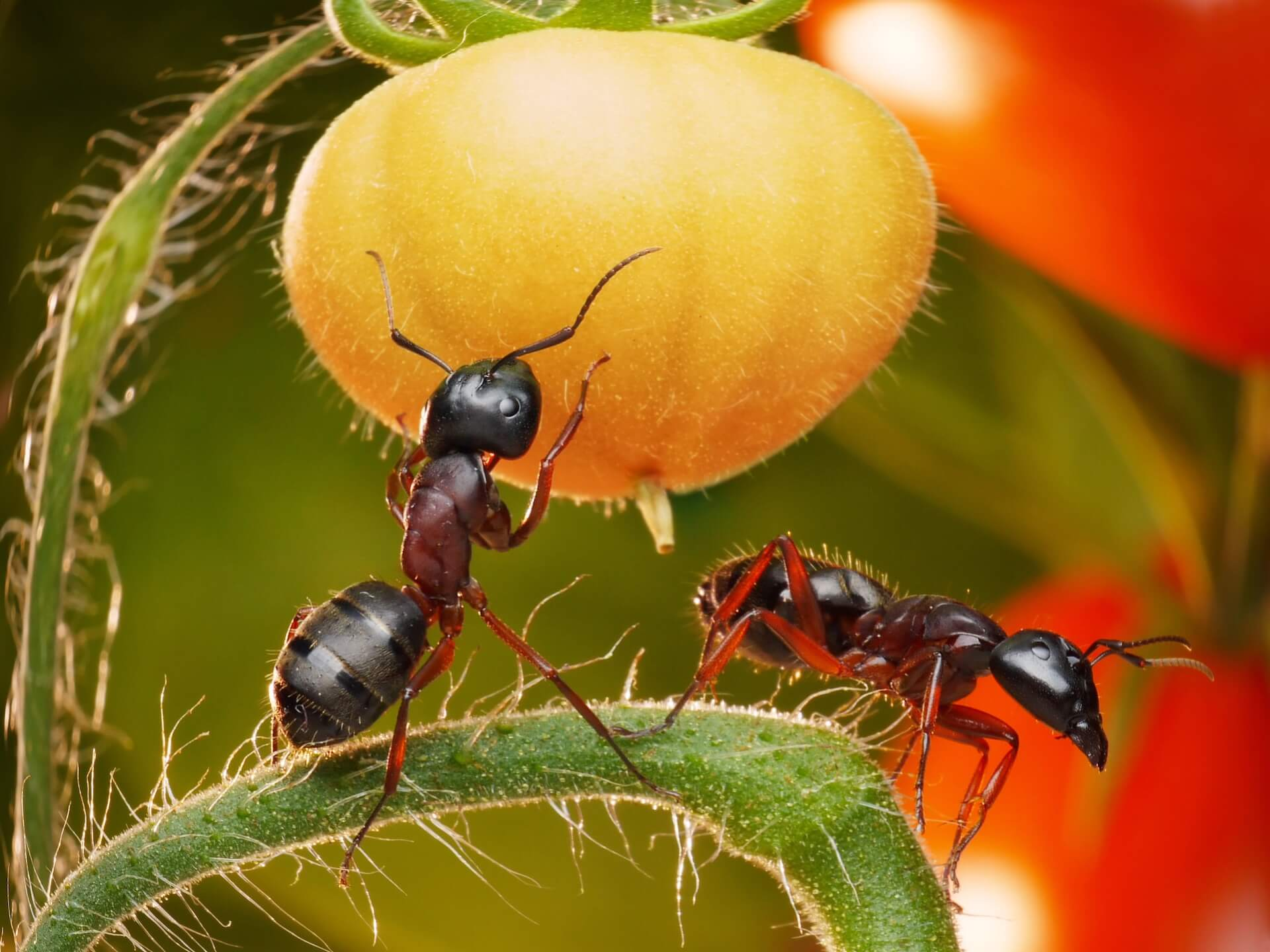 two ants on the tomato plants