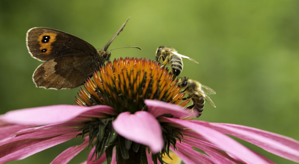 Gatekeeper butterfly and two bees on pink cone-flower
