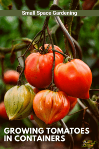 close up of tomato vine in grow bag
