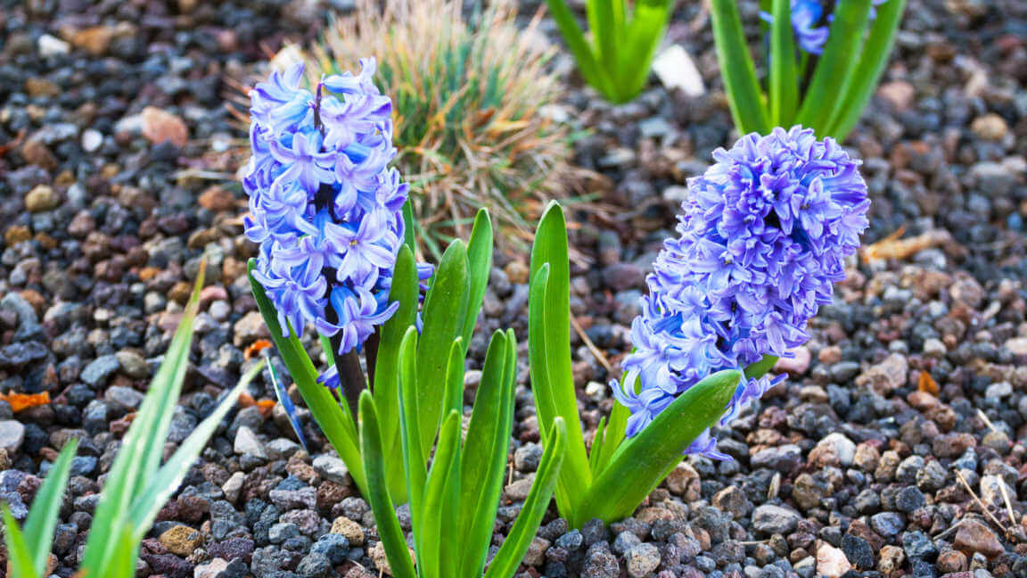 Blue Hyacinth planted in Rocks