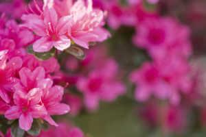 Close up of full bloom, Bright Pink Azaleas.