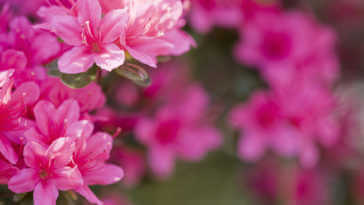 Close up of full bloom, Bright Pink Azaleas.