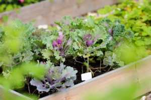 growing green and purple cabbage in a wooden box