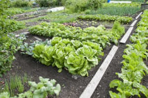 Fresh vegetables on an vegetable patch.