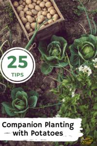 Overshot of green potato plant in the garden pinterest image