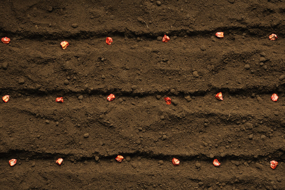 Red corn seeds in 3 rows being planted in soil.