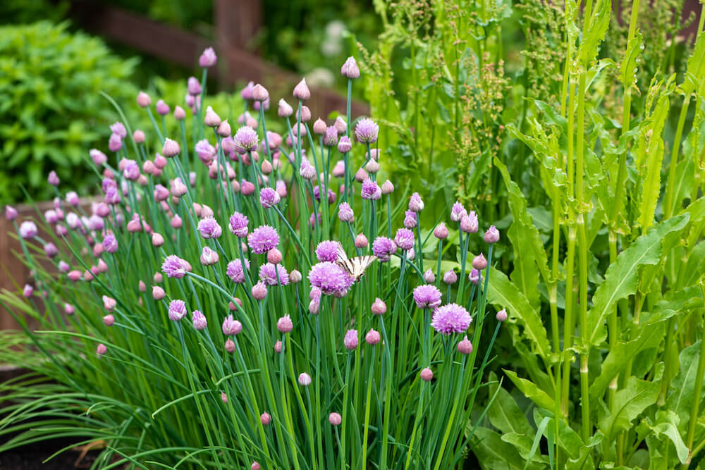 A Flowering Chives plant in a garden.