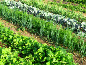Rows of Green Vegetables in a Garden