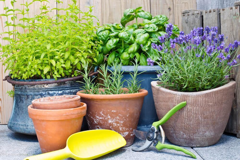 Fresh herbs in four clay pots