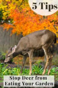 """Deer grazing in garden with text, """"5 tips to stop deer form eating your garden"""""""