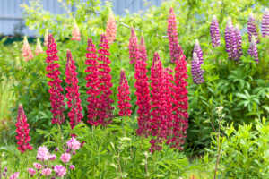 beautiful flowers lupines flowering on a flower bed in a garden. back of yard close up