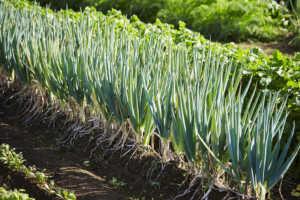 Spring onions field