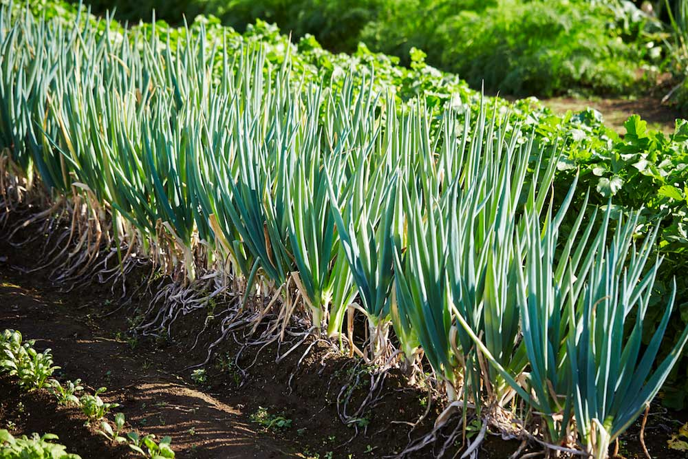 Spring onions field