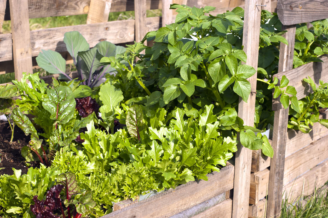 egetables including lettuce, red cabbage, Swiss chard and potatoes growing in re-purposed wooden pallets.