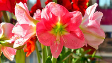 Dark and light pink Amaryllis