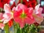 Dark and light pink Amaryllis