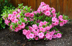 Azalea Bush full of full bloom pink azaleas.