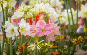 Pink and white Amaryllis flower bed