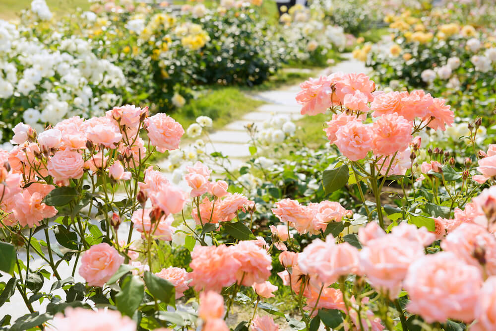 Pink and white rose garden