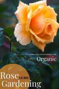 "Single orange rose with text, ""Rose gardening guide"""
