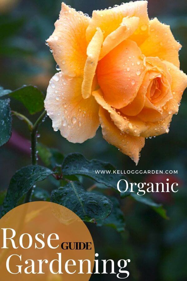 "Single orange rose with text, ""Rose gardening guide"""