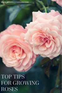 """Close up photo up pink rose with text """"Top tips for growing roses"""""""