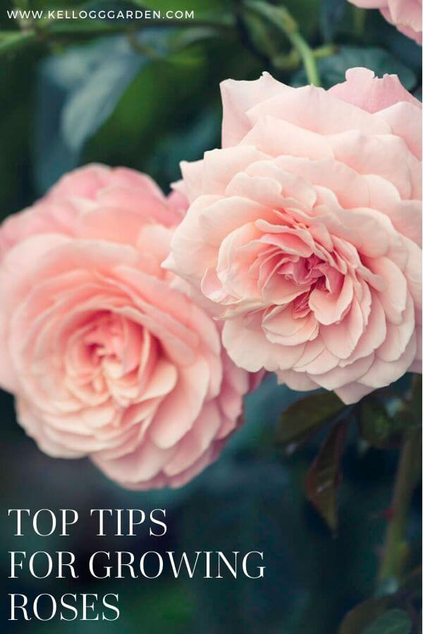 "Close up photo up pink rose with text ""Top tips for growing roses"""
