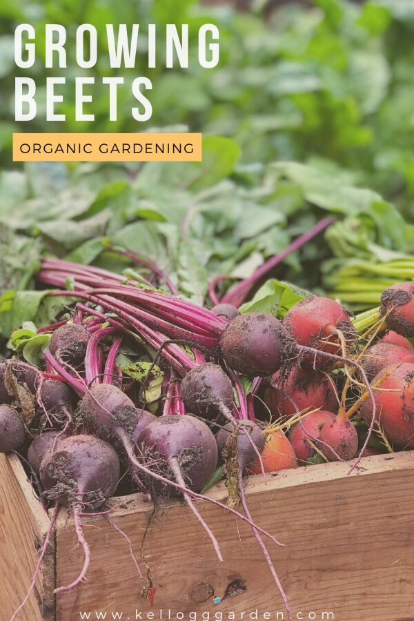 "Box of beets, ""Growing Beets Organic Gardening"""