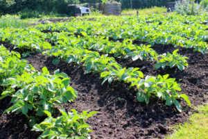 Potato Garden Rows