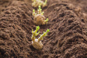 Close up photo of potato sprouts being planted