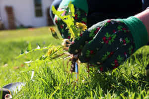 A man pulling dandelion weeds out from the grass lawn.