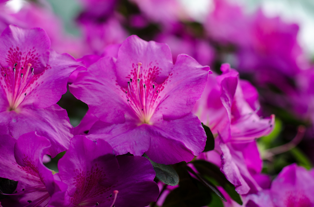 Close up of purple azaleas flowers.