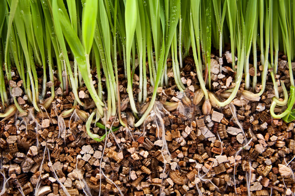 Roots in Vermiculaite