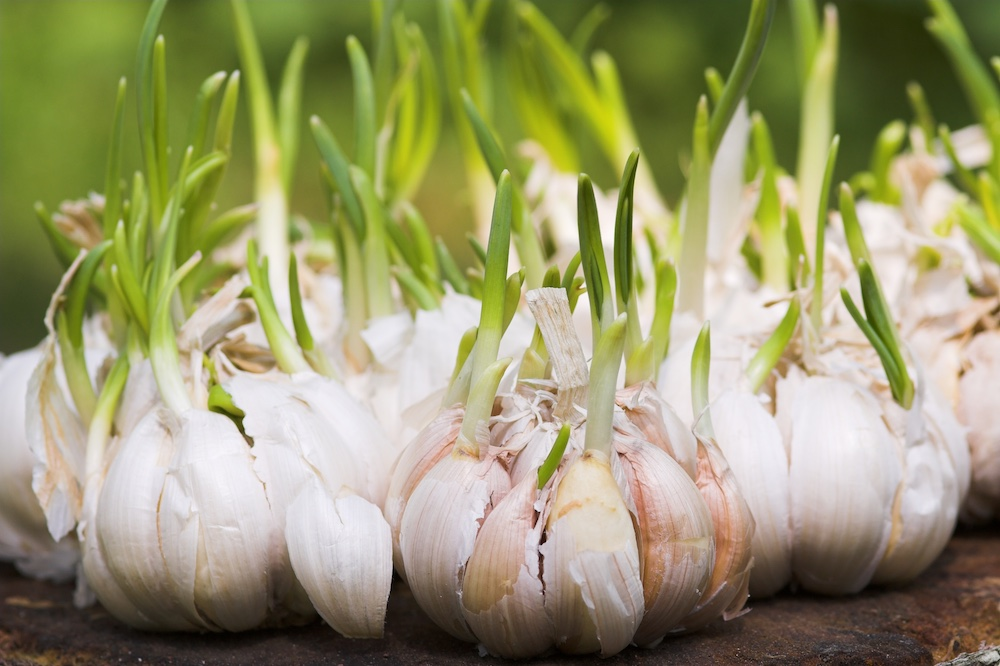 Close up of sprouting garlic cloves on a brown table