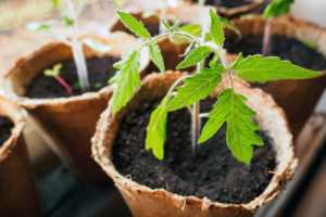 up close sprout of tomato plant in peat pot
